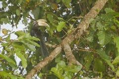 Gehockter männlicher schwarzer Hornbill Stockfotografie