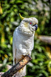 Gehockter Papagei Stockfotos
