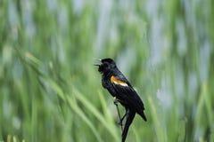 Gehockter rotgeflügelter schwarzer Vogel in Cat Tails lizenzfreies stockfoto