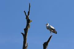 Gehockter weißer Storch stockbilder