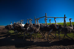 Gehoede de troep van de struisvogel Royalty-vrije Stock Foto's