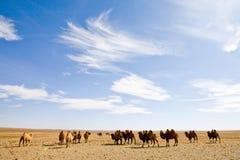 Gehoorde kameel Royalty-vrije Stock Foto
