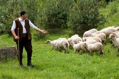 Gehoorde schapen Royalty-vrije Stock Foto's