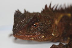 Gehoornd Forest Dragon Stock Afbeelding