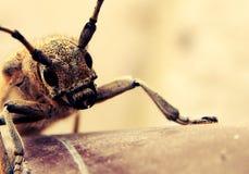 Gehoornd Insect Stock Afbeeldingen