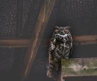Gehoornd Owl Napping in de Schuur royalty-vrije stock afbeeldingen