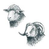 Gehoornd ram en lam royalty-vrije illustratie