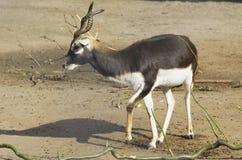 Gehoornde antilope Stock Foto