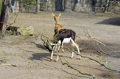 Gehoornde antilope Royalty-vrije Stock Afbeelding