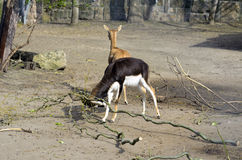 Gehoornde antilope Royalty-vrije Stock Fotografie