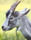 Gehoornde geit stock afbeelding
