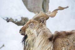 Gehoornde geit of markhor Royalty-vrije Stock Afbeelding