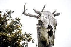 Gehoornde koe` s schedel Royalty-vrije Stock Afbeeldingen