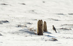 Gehoornde Leeuwerik op strand Stock Foto
