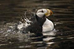 Gehoornde Papegaaiduiker Spashing met Bezinningen Alaska royalty-vrije stock foto's