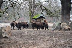Gehouden van bizon stock afbeeldingen