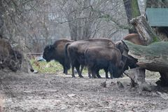 Gehouden van bizon royalty-vrije stock foto