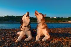 Gehuil die van paar het leuke schor honden hun snuiten omhoog opheffen Het mooie Siberische schor huilen die op rivierbank in str royalty-vrije stock foto
