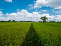 Gehweg von Reispaddys zwischen Reispaddys und gelbem Paddy lizenzfreie stockfotografie