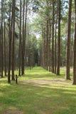 Gehweg-Weg-Weg mit Tannenbaum im Wald Lizenzfreie Stockbilder