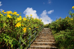 Gehweg in Zange Tungs Bua (mexikanische Sonnenblume Stockfoto