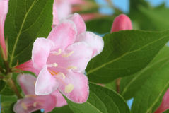Geißblatt-Blume Stockfoto