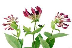 Geißblattblumen Lizenzfreie Stockfotos