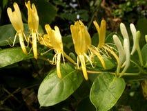 Geißblattblumen
