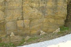 Geißbock, Vorderansicht Stockbild