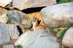 Geißbock, Vorderansicht stockfoto