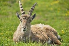 Geißbock, Vorderansicht ibex Niederhorn switzerland stockfotos