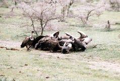 Geier in Äthiopien Lizenzfreies Stockbild