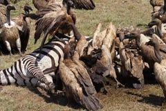 Geier auf Zebrakarkasse, Masai Mara, Kenia Lizenzfreie Stockbilder