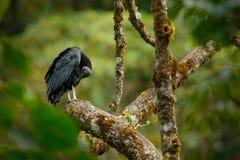 Geier, der auf dem Baum in tropischer Waldhässlichem schwarzem Vogel Mönchsgeier Costa Ricas, Coragyps atratus, Vogel im Lebensra lizenzfreie stockbilder