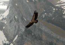 Geier fliegt Pyrenäen-Berge Stockbild