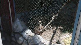 Geier im Käfig lebt im Zoo stock video footage