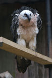 Geier im Zoo Stockfotografie