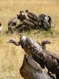 Geier in Kenia. Lizenzfreie Stockfotografie
