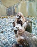 Geier mit zwei Vögeln am Nachmittag Lizenzfreies Stockbild