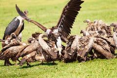 Geier scharen sich und der Marabu, der Aas, Afrika isst Lizenzfreie Stockbilder