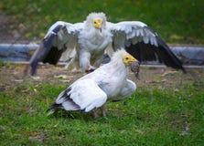 Geier u. x28; Neophron percnopterus& x29; In Angriff nehmen und Versuchen, des Opfers wegzunehmen Stockfoto