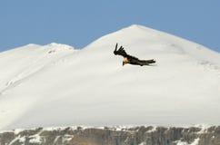 Geierflugwesen in den Pyrenees Stockfotos