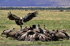 Geierparty, Masai Mara, Kenia lizenzfreies stockbild