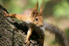 Geinteresseerde eekhoorn royalty-vrije stock fotografie