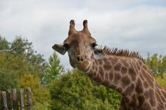 Geinteresseerde nieuwsgierige Giraf stock afbeeldingen