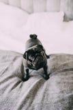 Geinteresseerde verraste zwarte pug die zich op hotelbed bevinden Stock Fotografie