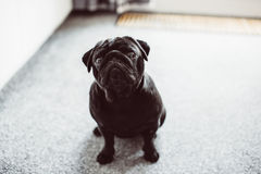 Geinteresseerde verraste zwarte pug die zich op hotelvloer bevinden Stock Afbeeldingen