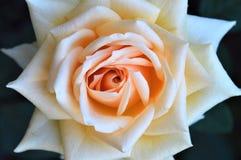 Geisha color de rosa de las variedades de la flor, Floribunda, por Tantau Foto de archivo libre de regalías