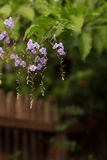 Geisha Girl, Duranta erecta, purple flower. On a tree in summer Stock Image
