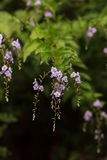 Geisha Girl, Duranta erecta, purple flower. On a tree in summer Royalty Free Stock Photo